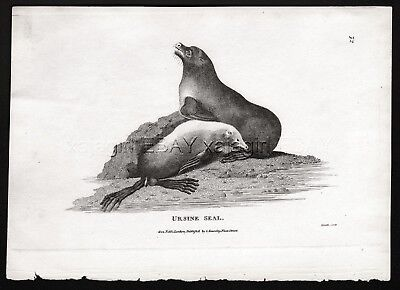 Marine Seals Fur Seal, Rare Antique Engraving Print from 1803 (200+ Yrs Old)