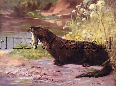 Otter with Fish, 100+ Yr-old Antique Print by CE Swan