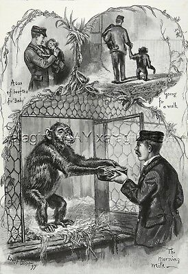 Primate Chimpanzee & Caring Zookeeper at London Zoo, Large 1890s Antique Print
