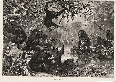 Primate Chimpanzee Troops Fighting, Large 1880s Antique Print & Article