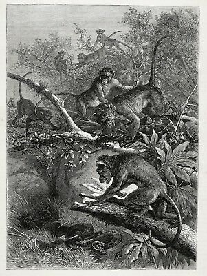 Primate Macaque Monkey Vs. Python Snake, Large 1880s Antique Print & Article