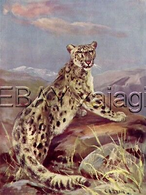Snow Leopard, 100+ Yr-old Antique Print by CE Swan