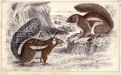 SQUIRREL Pair, Antique 1848 Hand-Colored Steel Engraving Print