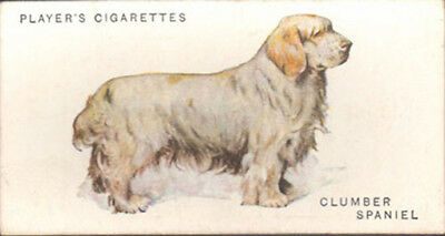 DOG Clumber Spaniel, Nice Breed Trading Card, 1931