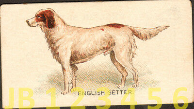 DOG English Setter Dog, Small American Trading Card from 1890