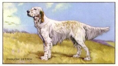 DOG English Setter, 70-year-old Trading Card, 1930s