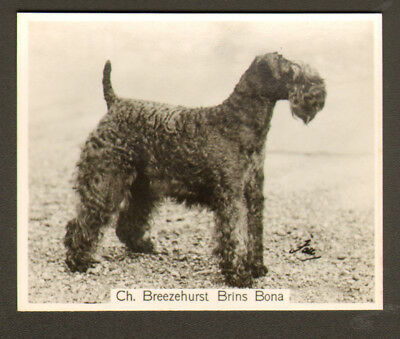 DOG Kerry Blue Terrier Champ, 1938 Photo Trading Card 1