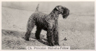 DOG Kerry Blue Terrier ID Small Photo Trading Card 1938