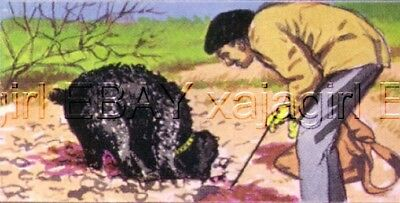 DOG Poodle Standard Hunting Truffles in France 1970 Trading Card 40+ Years Old