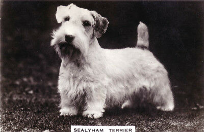 DOG Sealyham Terrier, Trading Card, Real Photo, 1930s