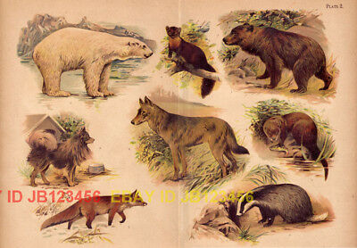 DOG & Wolf, Fox, Polar & Brown Bear, Badger, Martin, Otter HUGE Antique Print