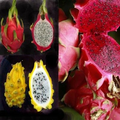 4 Type Rare Dwarf  Dragon Fruit - Mature cuttings -Ready to Grow  Easy