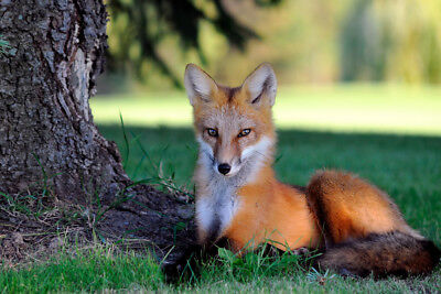 Photo, wallpaper digital picture free shipping worldwide, Canadian red fox