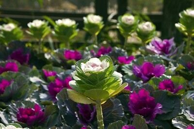 "Ornamental cabbage ""Sunrise"" - seed mix; Ornamental kale  - seeds"