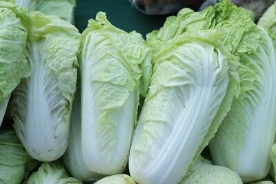 """Napa cabbage """"Pacifiko F1"""" - early Dutch variety - 20 seeds"""