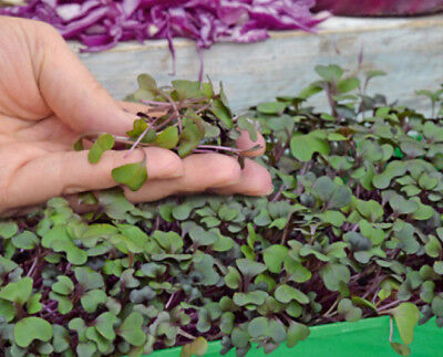 Microgreens - Red cabbage - young leaves with taste - - 1080 seeds