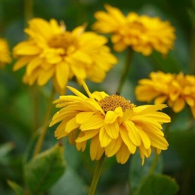 False Sunflower, Summer Sun  - Heliopsis scabra - 125 seeds
