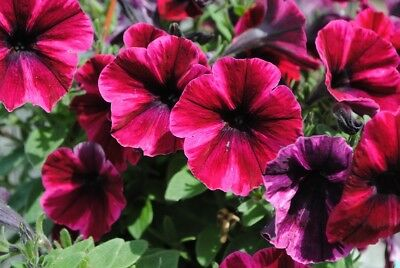Cherry-red large-flowered petunia - 80 seeds
