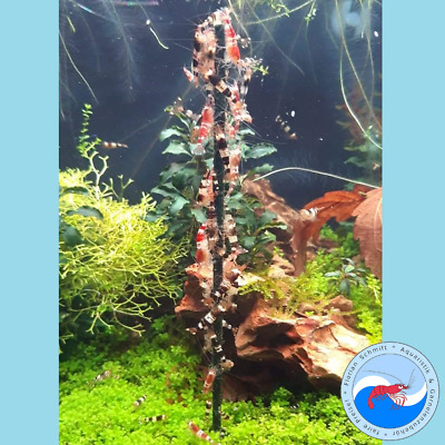 +NEU+ Shrimp-Lollies Nature [10 Stück] (Garnelen Lollies Aquarium) 58,9ct/St.