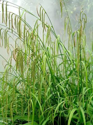 Carex pendula Winter Sedge Garden Marginal Pond lake Water Live Plant Evergreen
