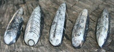 5 pcs ORTHOCERAS FOSSILS from Morocco (approx. 1.5 inches in length on average)
