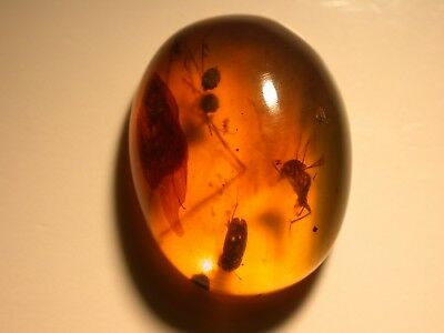 Fly with Clutch of Ancient Eggs in Burmite Amber Fossil Cretaceous Dinosaur Age