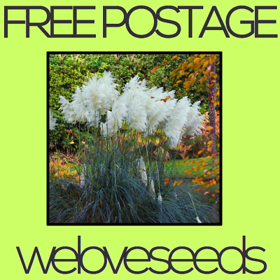 LOCAL AUSSIE STOCK - Rare White Pampas, Ornamental Grass Seeds ~10x FREE SHIP