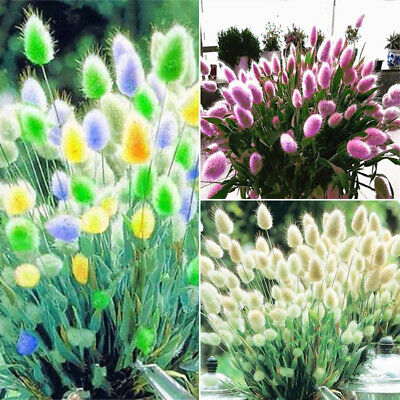 100Pcs Rabbit Tail Grass Seeds Bonsai Ornamental Garden Novel Plants Flower