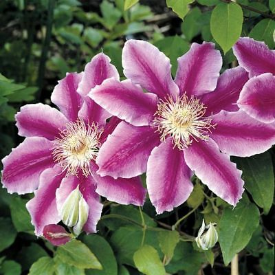 25 purple white clematis seeds large bloom climbing perennial flower 25 purple white clematis seeds large bloom climbing perennial flower garden mightylinksfo