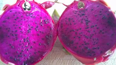 Purple Dragon Fruit - Fresh (1) One Mature  cut -Ready  to Grow