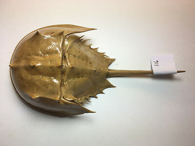 Atlantic Horseshoe Crab Shell with Tail and Legs, Naturally Collected -116