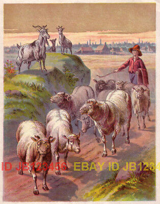 SHEEP & GOATS Being Herded Home, Antique 1880s Print