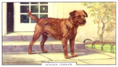 DOG Border Terrier, Colorful Trading Card, 1930s