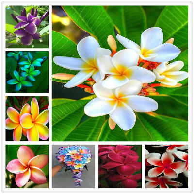 50x Plumeria Seeds Potted Seed Flower Seed Bonsai Plant Mixed Colors For Garden
