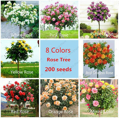200pcs Mixed Roses Tree Seeds English Rose Bonsai Flower Seeds Decoration Garden