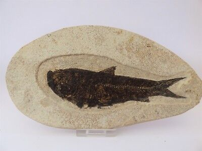 Fossil fish. Circa 48 m.y.o. Green River formation.20 x 11 cm + display stand