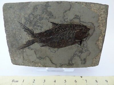 Fossil Sucker Fish 47 MYO Eocene, Hubei Province, China