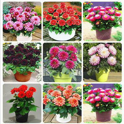 50Pcs Mixed Color Dahlia Flower Seeds Viable Great Bonsai Perennial Plant Potted