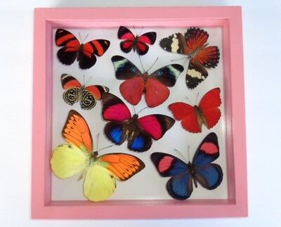 9 Real Framed Butterfly  Mounted Double Glass  Amazing Butterflies Pink Framed