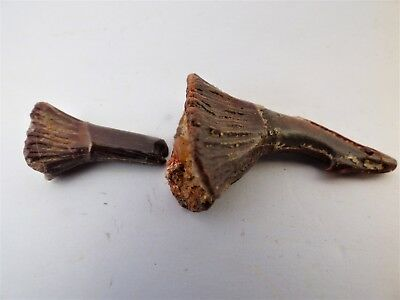 Fossil Rostral Spine  x 2 of Saw Fish, Moroccan Sahara, Upper Cretaceous