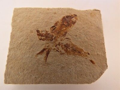 Pair of Fossil Scombroclupea   Gaudryi Fish  Lebanon Cretaceous  5 x 4   cm