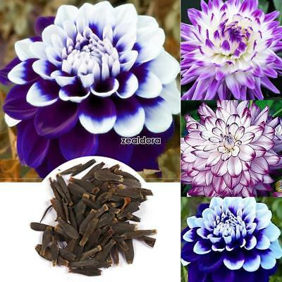 100Pcs Home Gardening Ornamental Plants Mixed Color Dahlia Flower Seeds FF