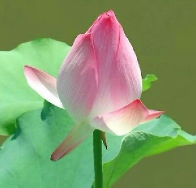 Mini Pink Or White Mix Lotus Seeds Hardy Lotus