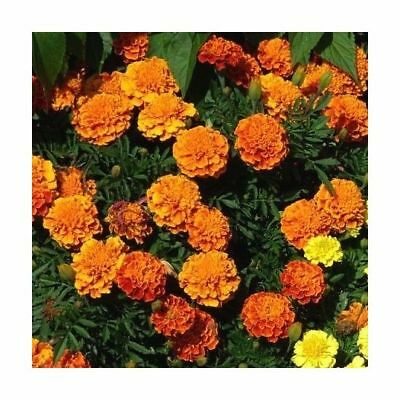 Semi di Calendula Orange boy - Tagetes patula nana fl. pl. - 300 semi