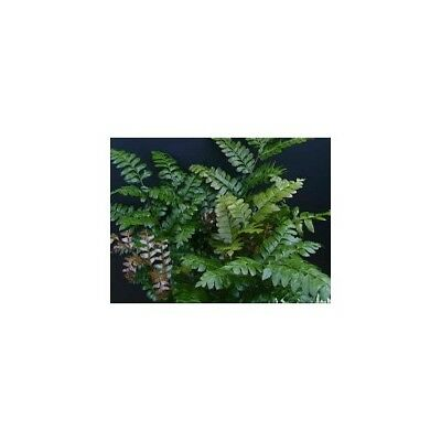 Didymochlaena truncatula - Maidenhair Tree Fern Pot Plant Rare Exotic