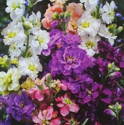 Stock 'Mixed Colors' graines - Matthiola incana annua - 300 graines