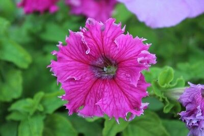 Pink petunia with ruffled flowers - 80 seeds