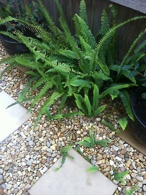 5 FISHBONE FERNS ~ Lush Green ~ New Plants ~ For Shady Garden Areas Or Indoors