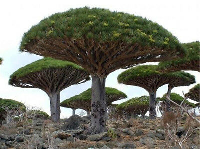 10PCS Canary Island Dragon Blood Tree Seeds Viable Bonsai Seed Giant Exotic Tree
