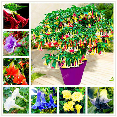 🔥100PCS Brugmansia Datura Seeds Mix Color Rare Dwarf Angel Viable Bonsai Flower